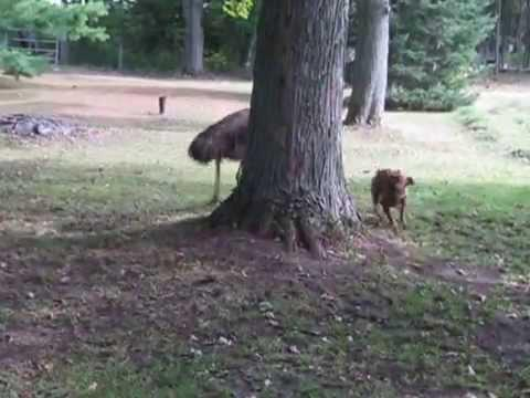 Emu And Boxer Dog Run In Circles Around Tree