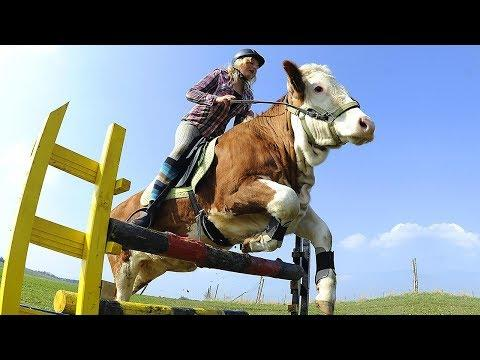A COW JUMPS LIKE A HORSE. 10 VERY SMART ANIMALS THAT WILL BLOW YOUR MIND