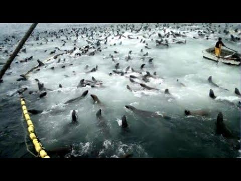 Sea Lions Break Into Net And Eat All The Fish. Your Daily Dose Of Internet. #Video