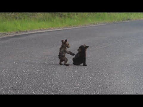 Baby Bears Wrestle In The Road. Your Daily Dose Of Internet