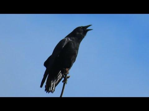 American Crows Calling
