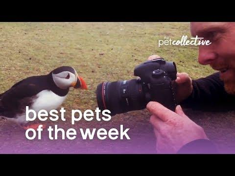 Best Pets of the Week - THE PERFECT PUFFIN | The Pet Collective