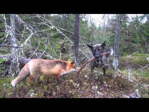 The Fox And The German Shepherd - BFF