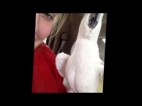 Cockatoo Plays Peek-a-Boo