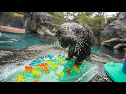 Rescued Sea Otter Lincoln Turns 2!