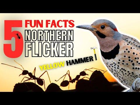 5 FACTS About the NORTHERN FLICKER   Aka. YELLOW HAMMER #Video