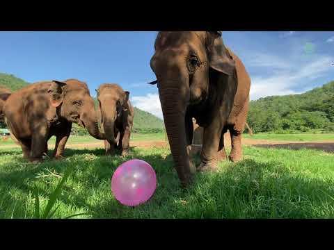 Fully Grown Elephants Enjoying Ball - ElephantNews #Video