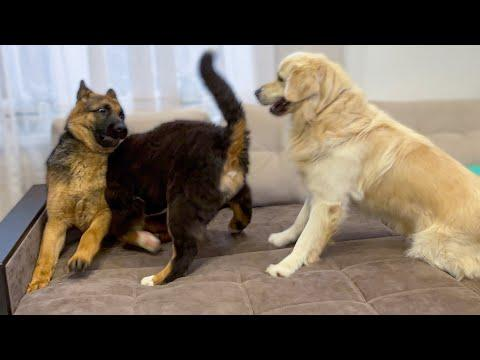 COUCH PARTY TIME VIDEO! Golden Retriever, Bernese Mountain Dog and German Shepherd!