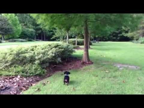 Dachshund Chased by  Rabbit
