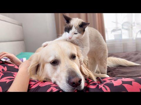 Golden Retriever falls asleep from a cat massage video