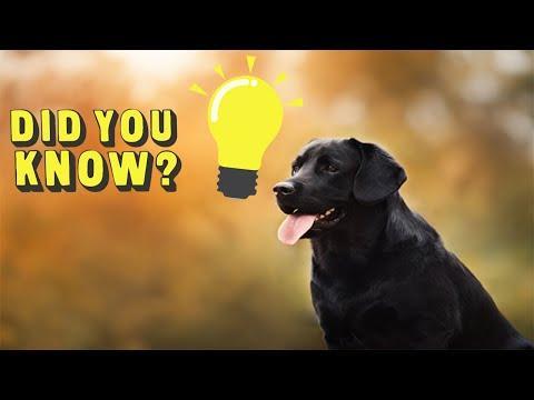 10 Labrador Retriever Facts You Didn't Know
