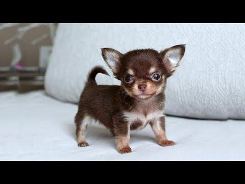 Funny and Cute Chihuahua Barking Video Compilation