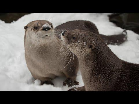Otters See Snow, Immediately Get Zoomies