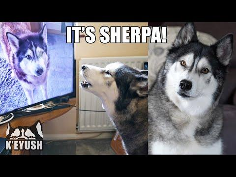 Husky Recognizes Best Friend on TV! TALKS to Him! #Video