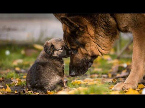 Funny and Cute German Shepherd Puppies Compilation Video #3 - Funniest GSD