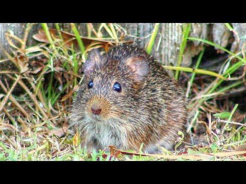 Cute Cotton Rat in the Backyard