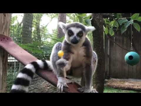 Ring Tail Lemur Lollypop Treat
