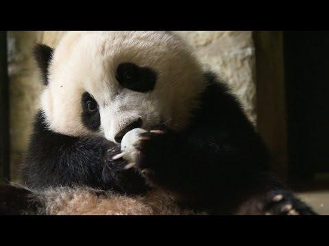 Why Do We Find Giant Pandas So Cute...