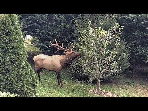 Bull Elk Bugling and Marking Territory in the Yard