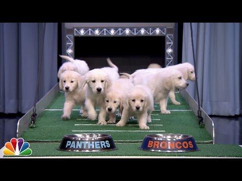 Puppies Predict Super Bowl 50