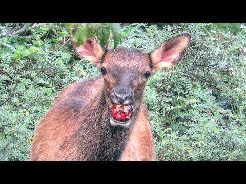 Cute Elk Calf Tries to Eat First Apple