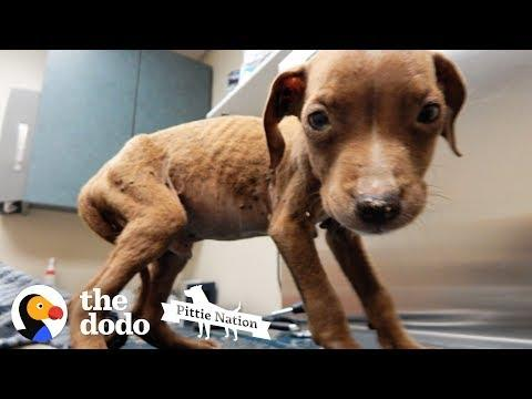 1.8-Pound Pit Bull Puppy Is Huge And Handsome Now