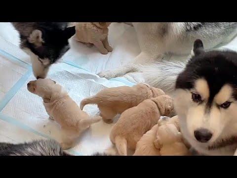 Pack Of Huskies Meets Newborn Golden Puppies #Video