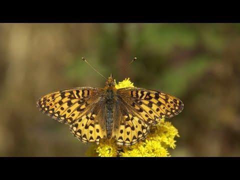 Saving Silverspot Butterflies