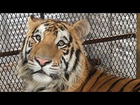 Tiger found in abandoned Houston home