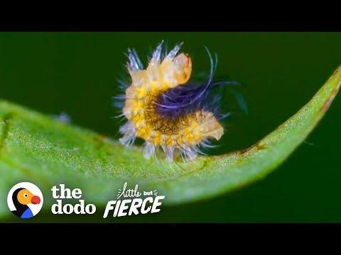 Tiny Caterpillar Makes Stunning Metamorphosis into a Garden Tiger Moth
