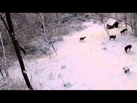 Rudolph The Red Nosed Reindeer Captured On Hidden Camera