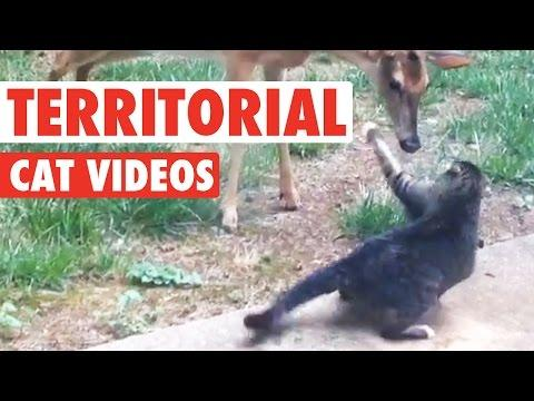 Territorial Cat Videos || Funny Pet Compilation