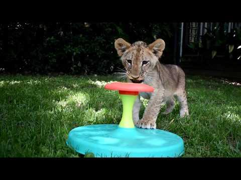 Cutest lion cubs playing together tug of War