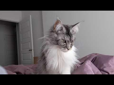 Maine coon saying Good morning video
