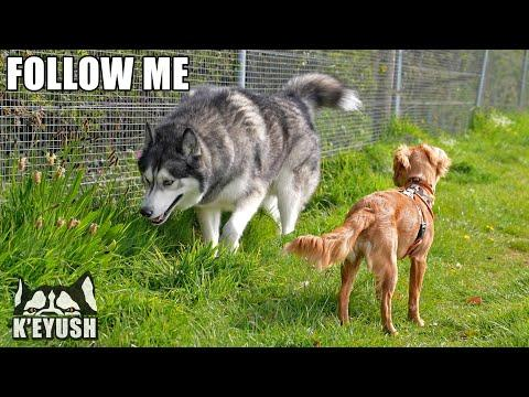 Calm Husky Teaches Hyper Puppy And Talks To Her! #Video