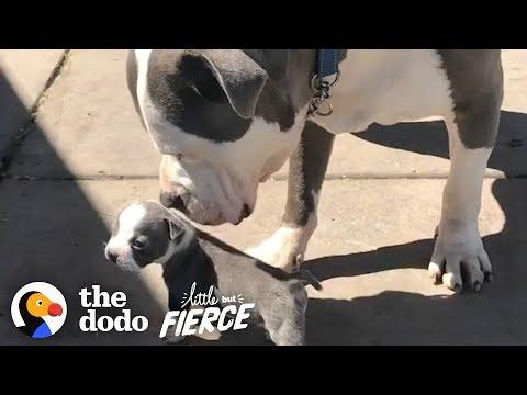 Half-Pound Pittie Puppy Grows Up with His 90-Pound Foster Brother