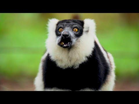 This Adorable Lemur is the World's Biggest Pollinator | The Science of Cute | BBC Earth