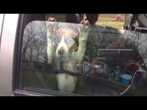 Beagle Puppy Won't Let Go