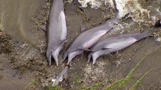 Dolphins Beach Themselves To Feed | The Hunt | BBC Earth