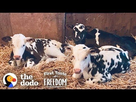 Baby Cows Are So Happy To Run Wild With Rescued Animals