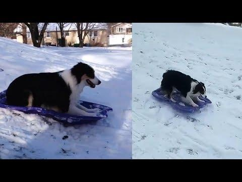 Genius Dog Takes Herself Sledding Video