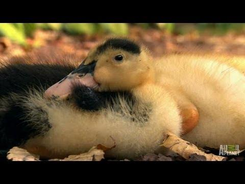 Puppies Meet Ducks For The First Time