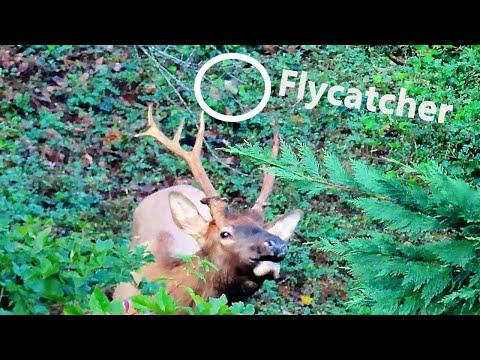 Flycatcher Looks for Flies On Elk and Gets A Surprise!