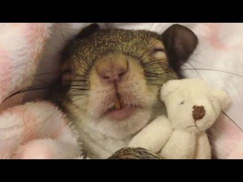 Squirrel rescued from hurricane now sleeps with her teddy bear #Video
