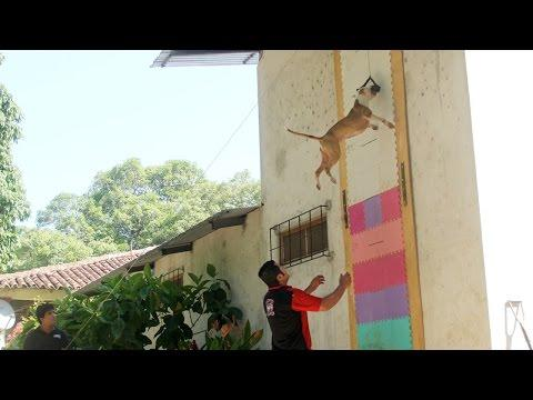 Champion Pit Bull Can Leap Up Four Metre Walls