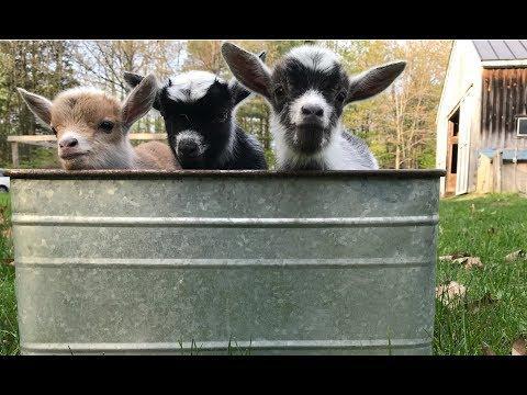 Newborn Goat Triplets