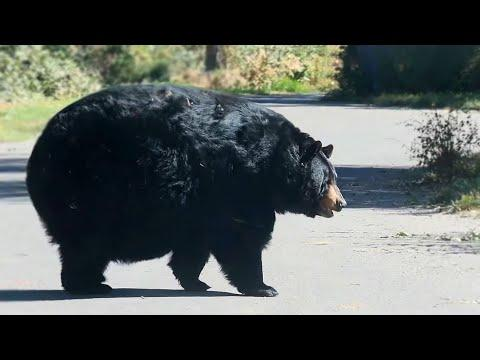 A Really Round Bear Video. Your Daily Dose Of Internet.