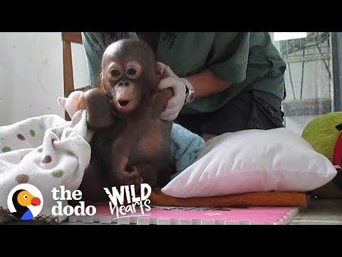 Watch This Rescue Baby Orangutan Exploring The World For The First Time