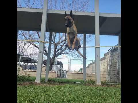 Monkey The Dog Acting Like A Bird Perching On A Rope
