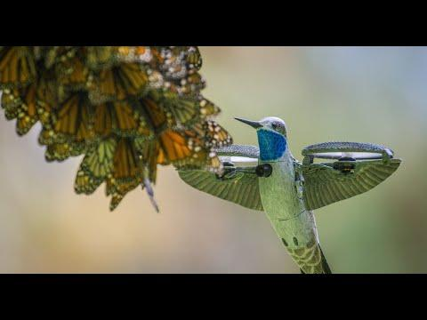 Robot Spy Hummingbird Films HALF A BILLION MONARCH BUTTERFLIES!